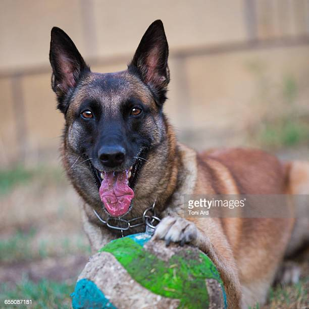 pets & their favorite toys - belgian malinois stock photos and pictures