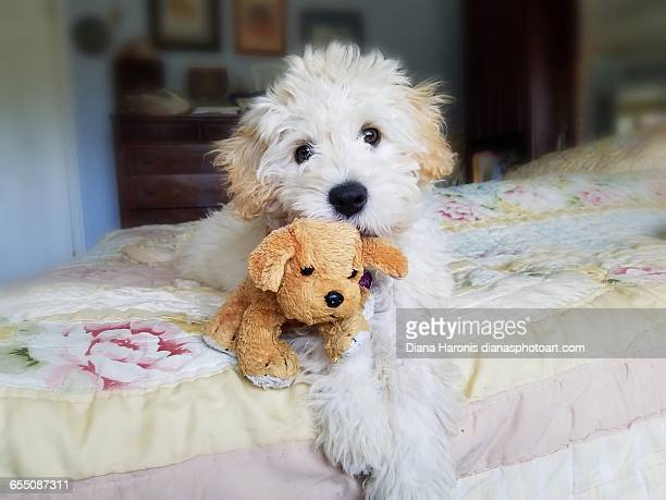 pets & their favorite toys - goldendoodle stock-fotos und bilder