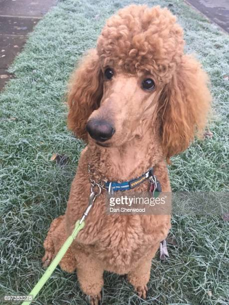 pets wearing collars with tags  - standard poodle stock photos and pictures
