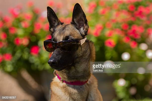 pets wearing glasses - belgian malinois stock photos and pictures