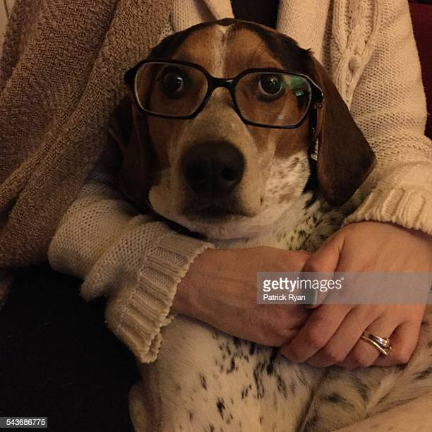 pets wearing glasses - coonhound stock pictures, royalty-free photos & images