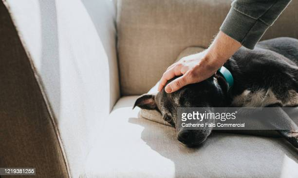 petting old dog - pets stock pictures, royalty-free photos & images