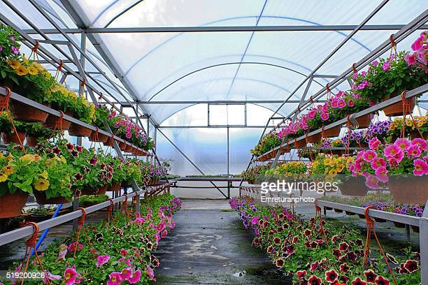 petunia section of a flower greenhouse - emreturanphoto stock pictures, royalty-free photos & images