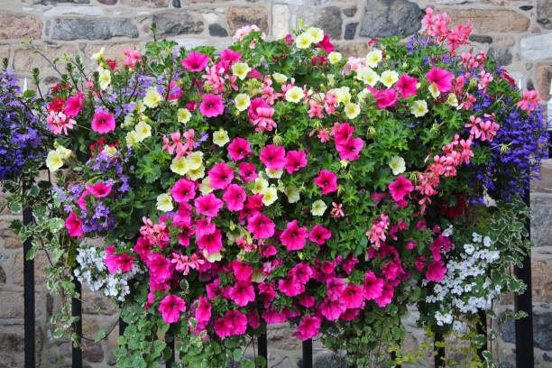 Petunias, geraniums & lobelia flowers on railings, St Peter Port.