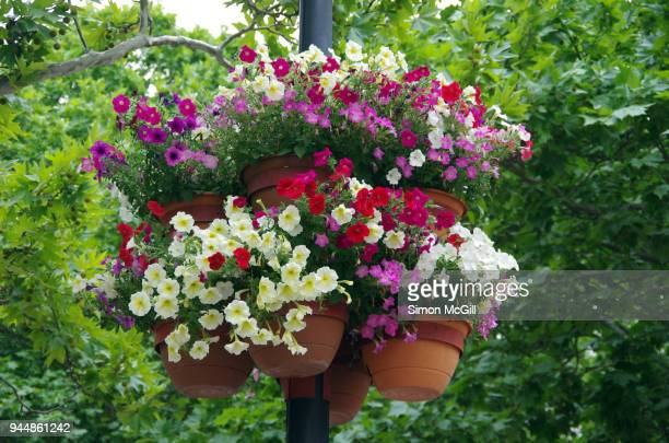 petunias in bloom in flower pots on a street light - hanging basket stock pictures, royalty-free photos & images