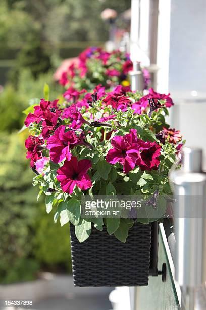 Petunias in flower box on balcony