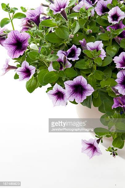petunias - hanging basket stock pictures, royalty-free photos & images