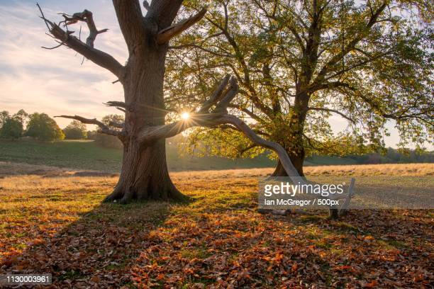 petworth tree - mcgregor stock pictures, royalty-free photos & images