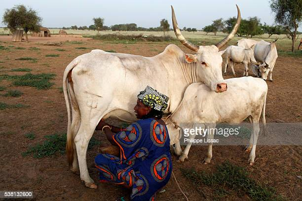 peul farmer milking a cow. the milk is bought and transformed by la laiterie du berger social business - milking stock pictures, royalty-free photos & images