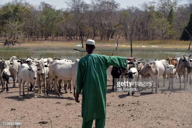 A Peul livestock farmer guides cattle in a transhumance corridor near the Danoa dam in northeastern Ivory Coast on January 21 2019 Nearly three years...