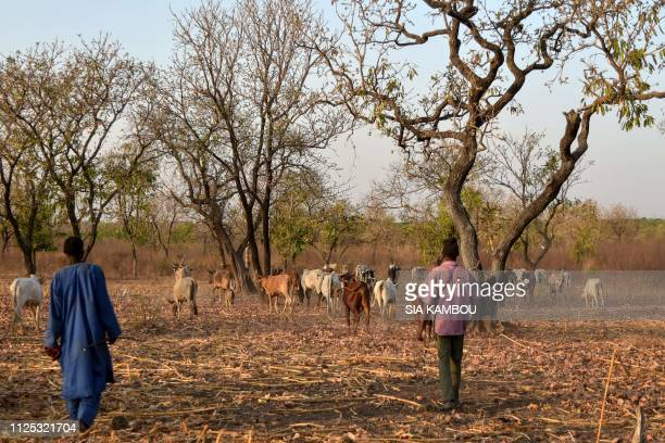 Peul livestock farmers guide cattle to graze in a millet field after the harvest near Bouna in northeastern Ivory Coast on January 21 2019 Nearly...