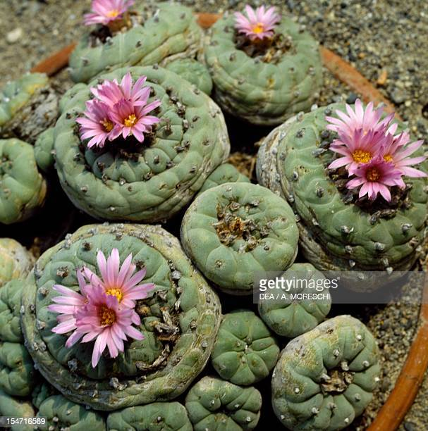 Buy healthy Lophophora williamsii (Peyote) clusters online |Peyote Cactus