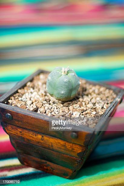 Peyote Cactus Mescal Bud Colorful Background
