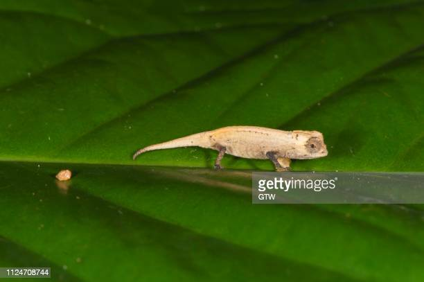 Pygmy Chameleon Stock Photos And Pictures