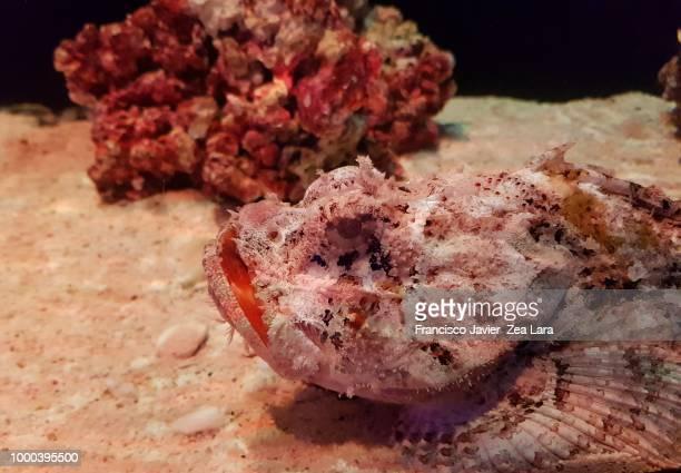 pez piedra rojo con blanco