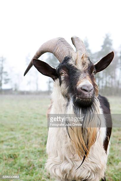 pfauenziegenbock portrait - goatee stock pictures, royalty-free photos & images
