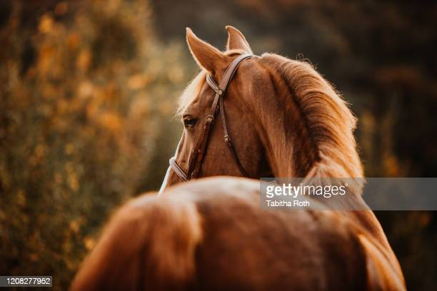 pferd fuchs im herbst im gegenlicht als portrait porträt - porträt imagens e fotografias de stock