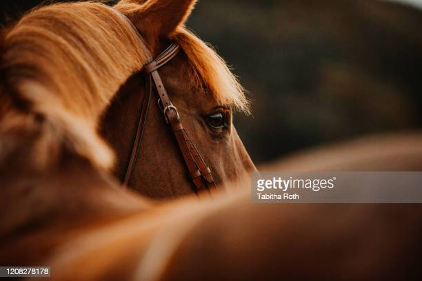 pferd fuchs im herbst im gegenlicht als portrait porträt - recreational horseback riding stock pictures, royalty-free photos & images