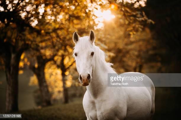 pferd pony schimmel im portrait - cheval blanc photos et images de collection