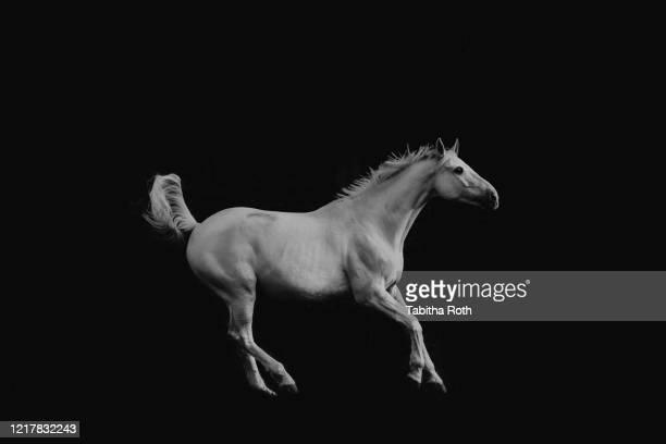 pferd schimmel iim galopp vor schwarzem hintergrund schwarz-weiss - caballo blanco fotografías e imágenes de stock