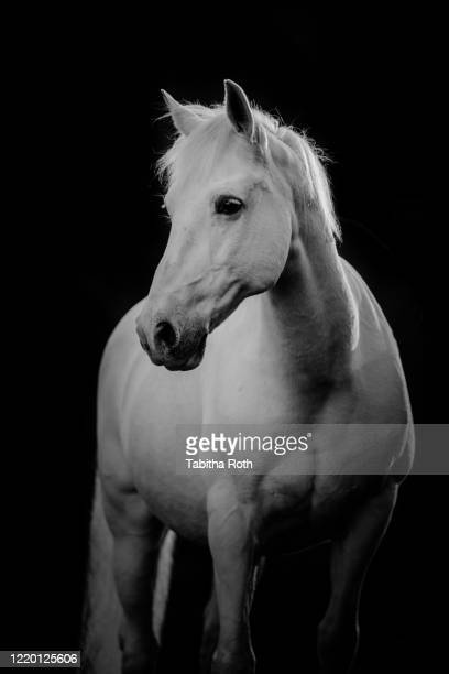pferd schimmel im portrait - cheval blanc photos et images de collection