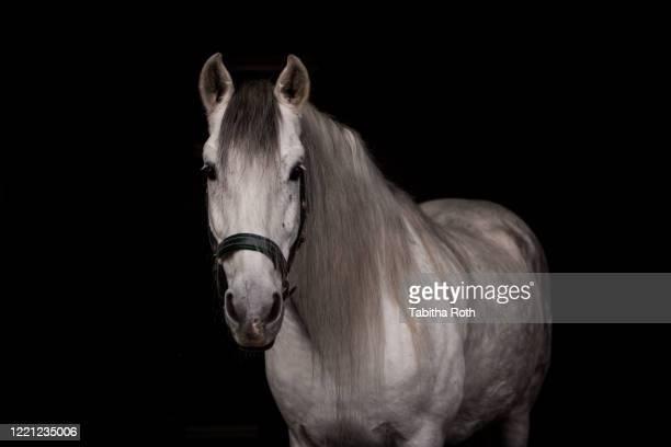 pferd schimmel vor schwarzem hintergrund - white horse stock pictures, royalty-free photos & images