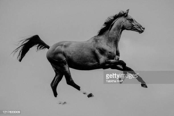 pferd sportpferd warmblut auf der wiese im galopp - cheval photos et images de collection