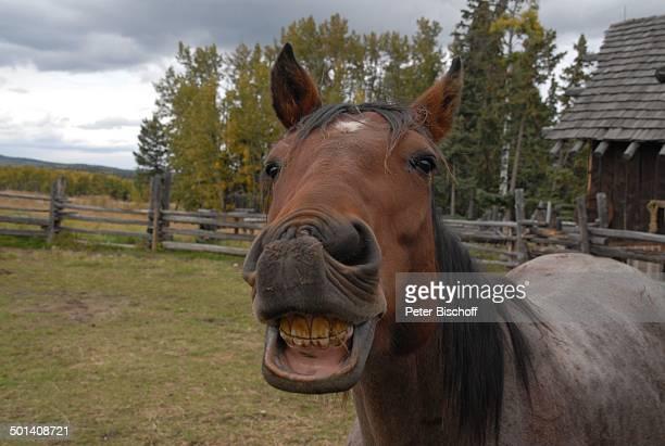 Pferdegebiss, Ranch bei Calgary, Alberta, Kanada, Nordamerika, Pferd, Tier, Gebiss, Zähne, Reise, BB, DIG; P.-Nr. 1379/2007, ;