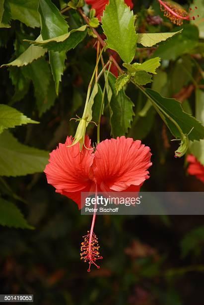 Pflanze Bathsheba Insel Barbados Karibik Blume Blüte Reise BB DIG PNr 810/2007