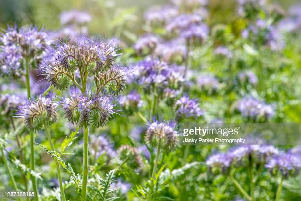phacelia tanacetifolia also known as lacy phacelia, blue tansy or purple tansy flowers - tansy stock pictures, royalty-free photos & images