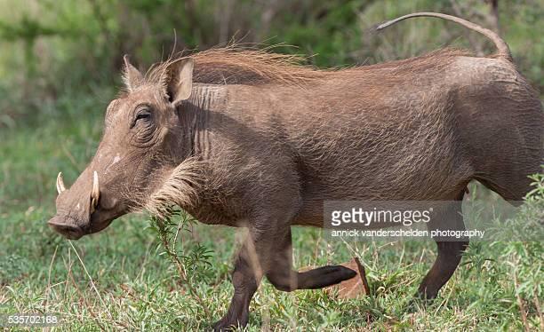phacochoerus or warthog. - facocero foto e immagini stock