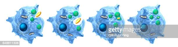 Phagocytosis Phagocytosis is the process by which a cell ingest a particle
