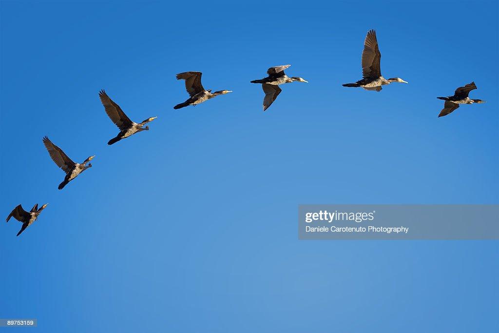 Phalacrocorax flight : Foto de stock