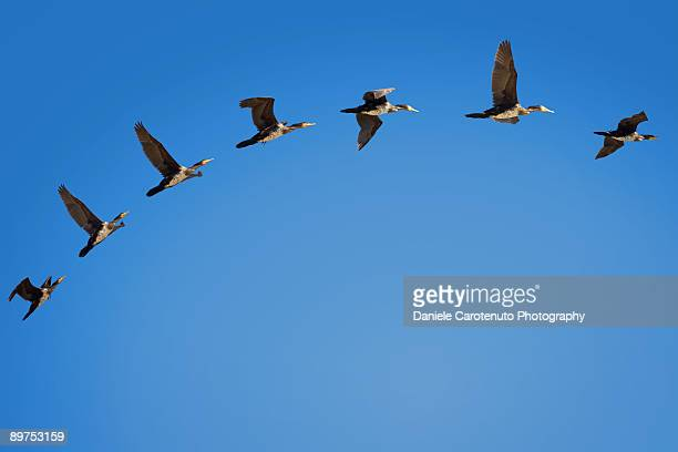 Phalacrocorax flight
