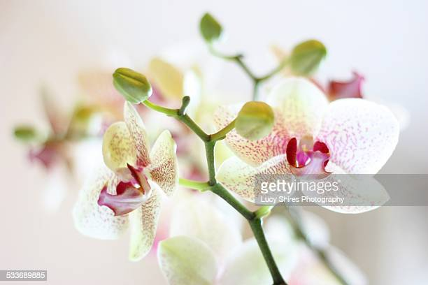 phalaenopsis aphrodite hybrid, moth orchid. - lucy shires stock pictures, royalty-free photos & images