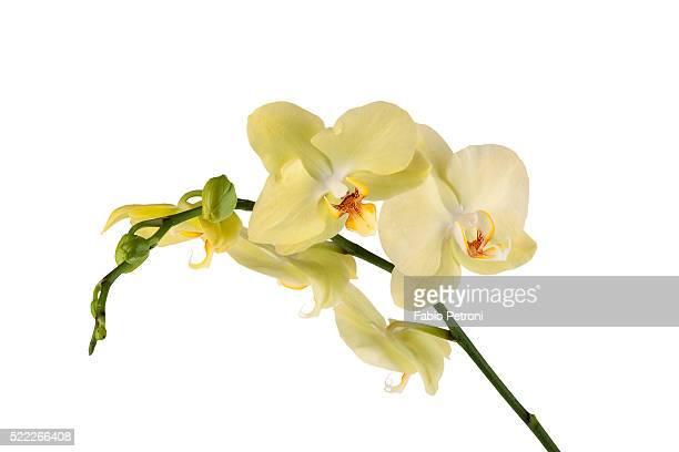 phalaenopsis miss saigong1