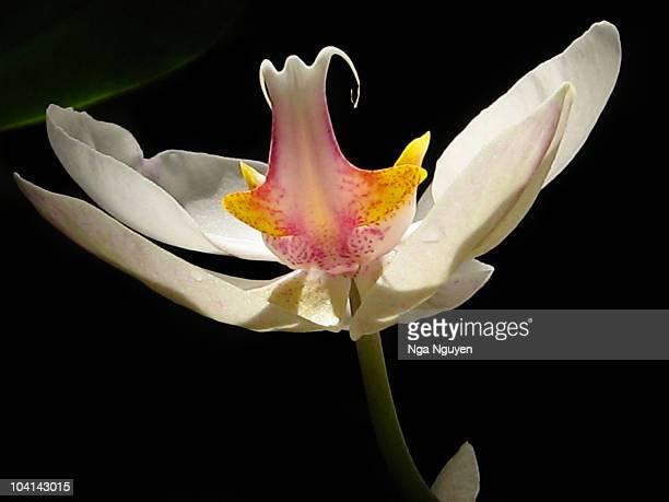 phalaenopsis orchid against black background - nga nguyen stock pictures, royalty-free photos & images