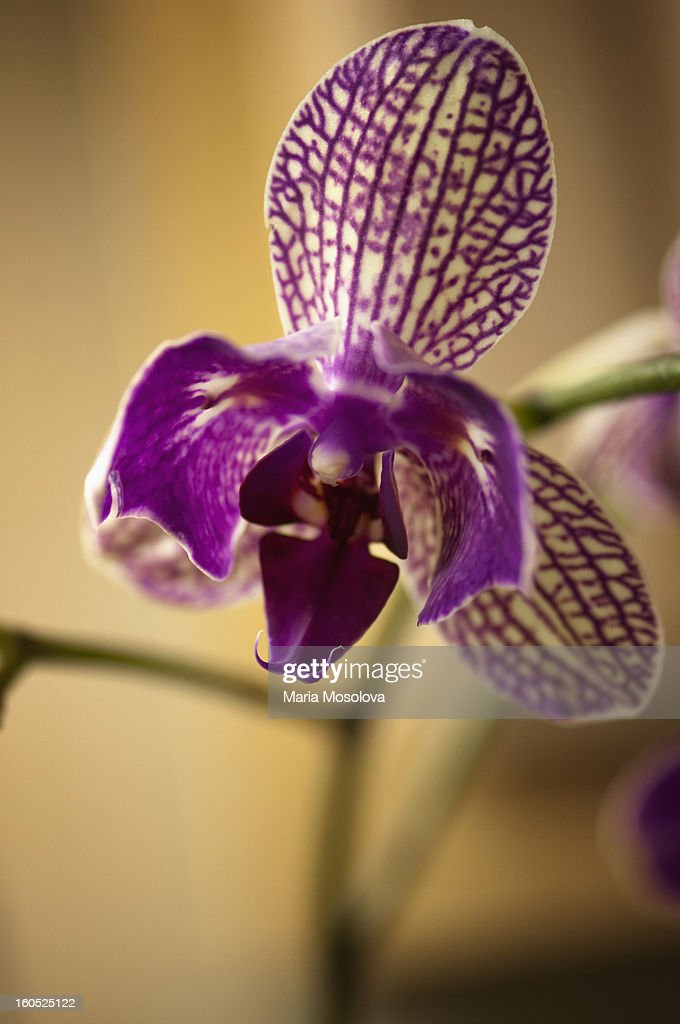 Phalaenopsis Orchid Close-up : Stockfoto