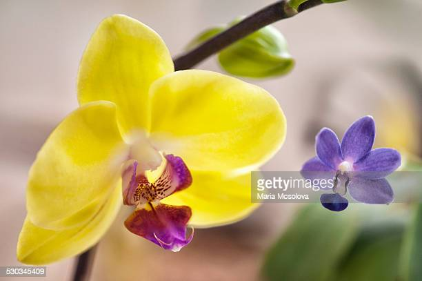 Phalaenopsis Orchid Flower Duo