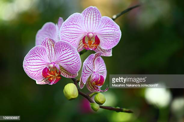 phalaenopsis orchid - chofu stock pictures, royalty-free photos & images