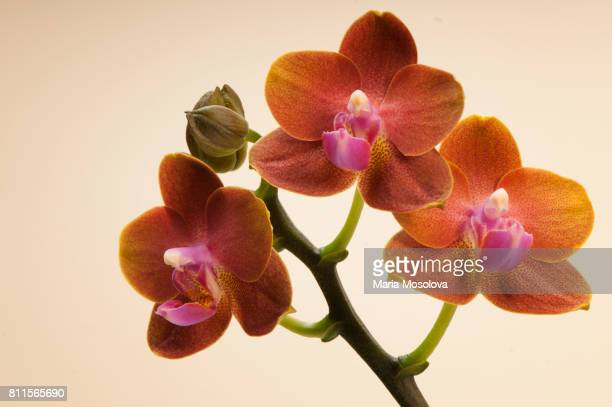 phalaenopsis orchid tying shin forever love 'little sun' - rust colored stock photos and pictures