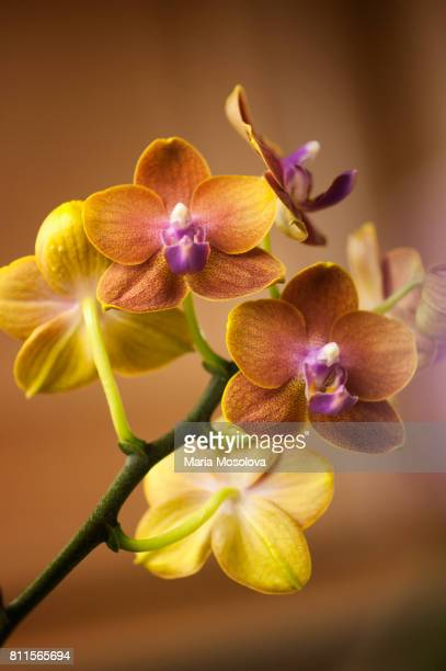 phalaenopsis orchid tying shin forever love 'little sun' - rust colored stock pictures, royalty-free photos & images
