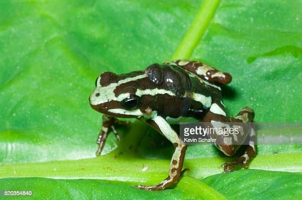 Phantasmal Poison Frog with Tadpoles on Back