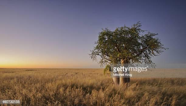 phantom tree (moringa ovalifolia) at dusk in namibia - moringa tree stock photos and pictures