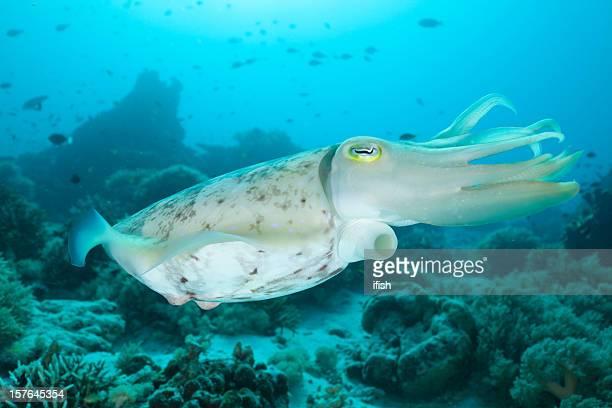 Pharaoh Cuttlefish exposing his hyponome, Moyo Island, Sumbawa, Indonesia