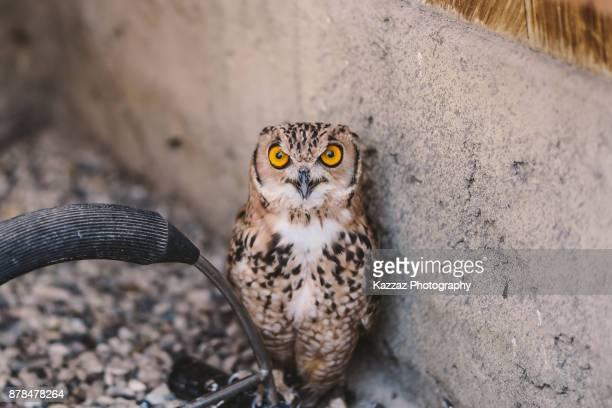 Pharaoh eagle-owl, Desert eagle owl