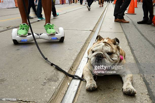 Pharrell the bulldog is seen in this general view of atmosphere at the 2015 Toronto International Film Festival on September 11 2015 in Toronto Canada