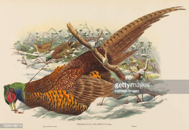Phasianus colchicus . Artist John Gould, William Matthew Hart.