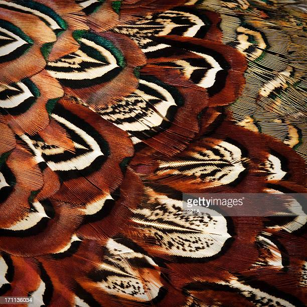 phasianus colchicus - pheasant plumage - feather stock pictures, royalty-free photos & images