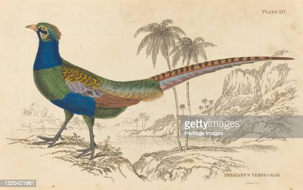 Phasianus Versicolor. Artist William Home Lizars.